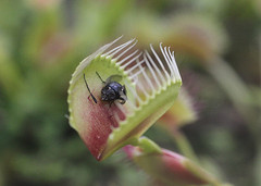 venus fly trap with captured fly. Avoid fake websites that trap you.